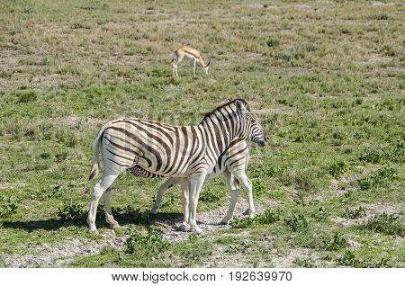 Plains zebra (Equus quagga) feeding its pup in Etosha national park Namibia.