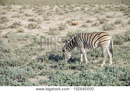 Plains zebra (Equus quagga) grazing with springbok in the background in Etosha national park Namibia.