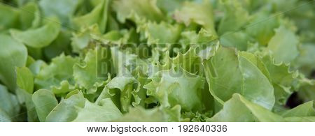 Small Green Lettuce Growing Inside Of A Greenhouse