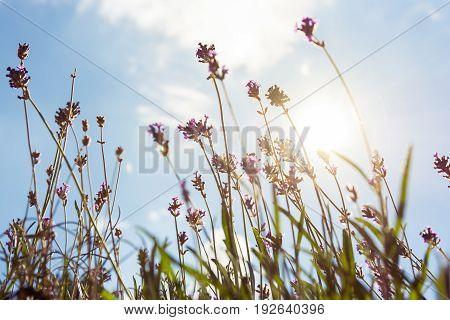 Sun Flare Through Purple Lavendar Plants Summer Season Blue Sky Background