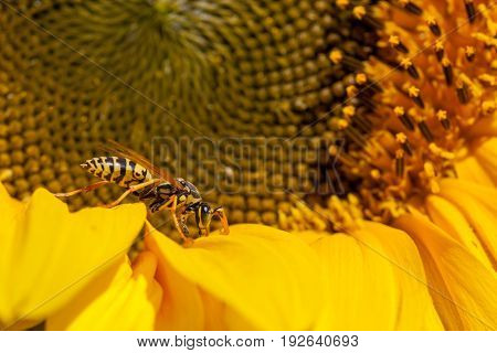 A yellow-jacket bee is inspecting the inside of a young sunflower bloom in the sunshine.