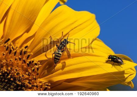 A yellow-jacket bee is inspecting a bright yellow sunflower bloom while a fly sits and watches.