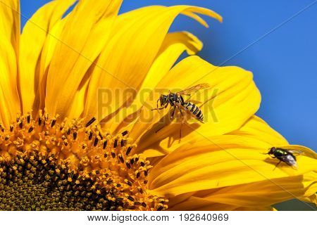 A yellow-jacket bee and a fly are both grooming themselves while sitting on a bright yellow sunflower bloom in the sunshine.