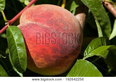 A ripe peach still on the tree among green leaves in the sunshine.