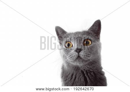 Surprised gray cat isolated on white background