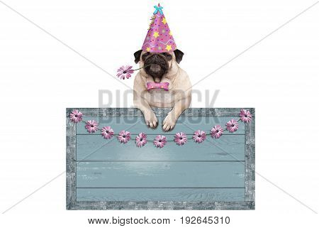 cute pug puppy dog with pink party hat hanging on blank blue wooden sign with flowers isolated on white background