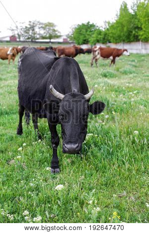 Herd of cattle grazing on green lawn