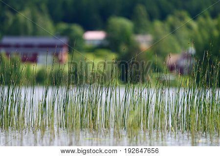 Lakeshore bulrush growing in a lake in Western Finland on a sunny summer afternoon with agriculture and farm buildings on the opposite shore of the lake.