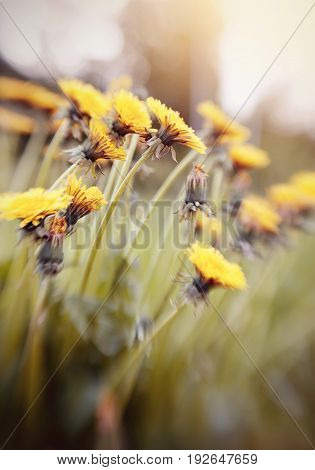 Blossoming of summer weeds - a yellow dandelion. Photo taken with Lensbaby