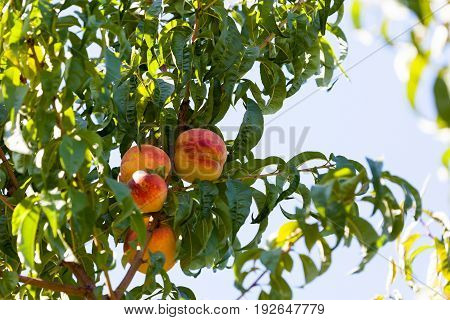 A group of ripe peaches growing on a tree in summer with sunshine and blue sky.