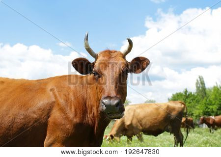 Cute cow grazing on green lawn
