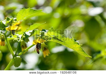 A honey bee hangs from the bloom of a tomatillo plant in a garden with sunshine.