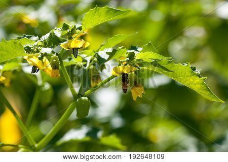 A honey bee hangs under a yellow bloom of a tomatillo plant collecting pollen.