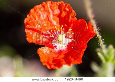 A bright red poppy flower with crinkled petals glowing in the sunshine.