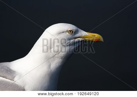 Seagull head close up profile isolated against plain background. Herring gull (Larus argentatus) face.