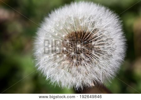 The delicate hairs of a dandelion puff with a soft blurred background.