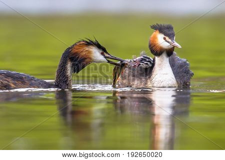 Great Crested Grebe Swimming With Chicks And Feeding