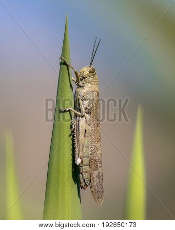 Migratory Locust Perched On Green Plant