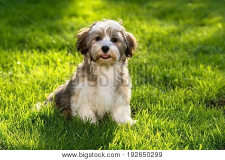 Happy little havanese puppy dog sitting in the grass and looking at camera