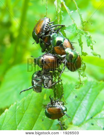 Japanese Beetles eating leaves and mating. Close up. poster