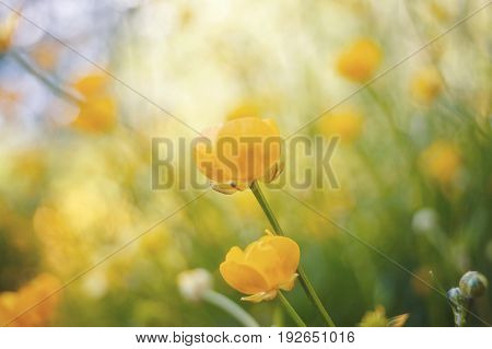 Yellow flowers of buttercups in the field in the summer.