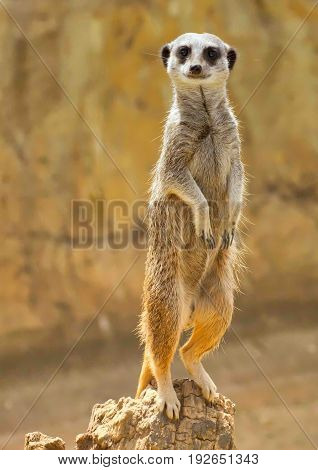 Meerkat or Suricate standing on the wooden stump