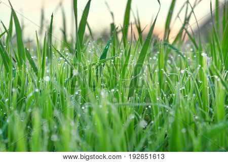 green grass with dew drops on a summer meadow an blur background. close up plant in water drop on field