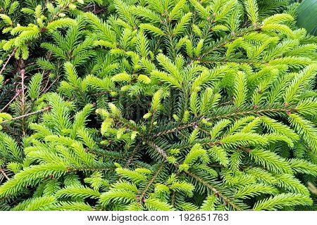 Young Shoots Of Coniferous Trees