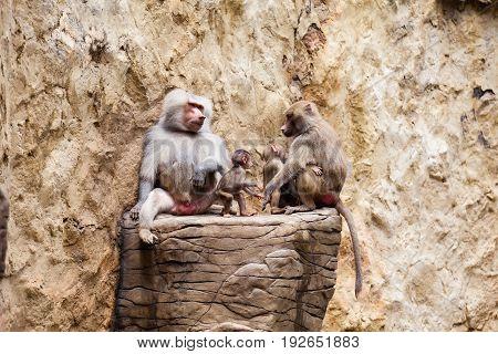 Baboons family ( hamadryas baboon ) in captivity