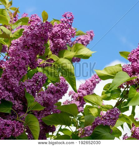 Branch of blossoming lilac on blue sky background