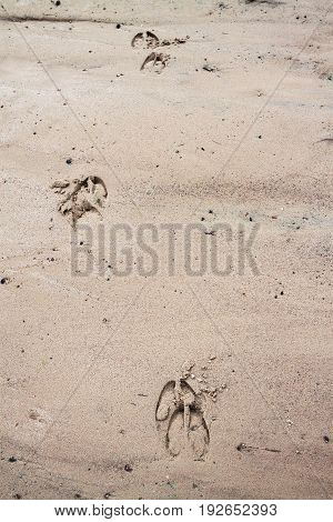 prints of traces of an elk on wet sand close up. wild nature