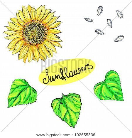 Hand drawn vector illustration set of color sunflower, grain, seed. sketch. Vector eps 8