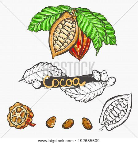 Hand drawn vector illustration set of color and monochrome cocoa, leaf, bean. sketch. Vector eps 8