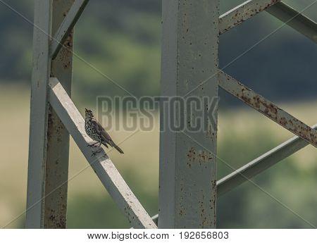 Thrush bird on electric railway metal post