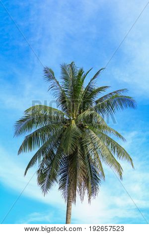 coconut tree jungle Palms in the tropics on sky background with copy space