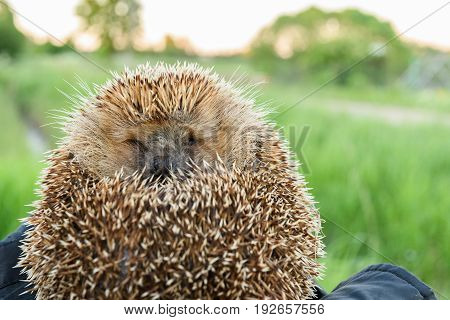 Hedgehog Curled Up On A Kapron Fabric A Dark Color