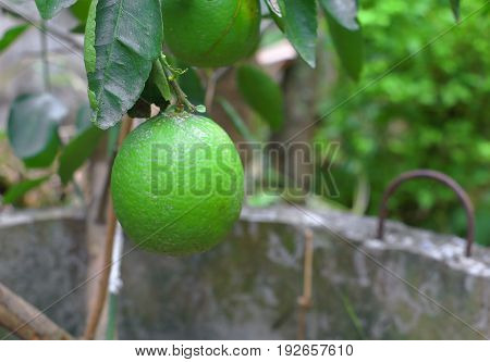 lemon green on tree in the garden
