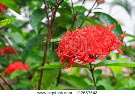 Ixora spike flower red with in nature ( Common Name Ixora coccinea Rubiaceae)