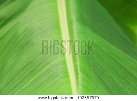 blur of banana leaf texture for background in nature