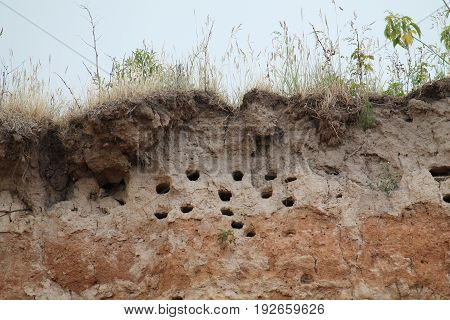 Holes of European sand martin or bank swallow in the sandy cliff