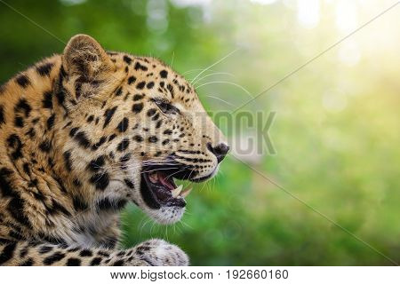 Adult Amur leopard side view. Beautiful big cat in profile, baring his teeth. Space for text.This animal is a critically endangered species indigenous to Southeast Russia and Northern China