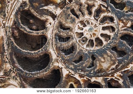 Closeup of an ancient ammonite fossil in cross section. This fossilized sea creature is a clear example of the Fibonacci spiral in nature.