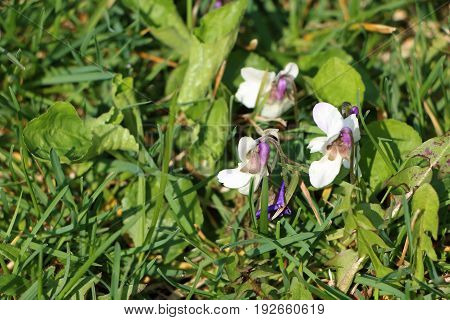 Detail photo of Viola odorata - unusual colorful variation with white bloom; also known as wood sweet English common florist's or garden violet. In India also as Banafsa Banafsha or Banaksa.