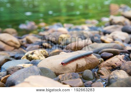 the millipede walking on the stone with natur background.