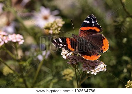 Red Admiral Butterfly, Vanessa Atalanta, In A Butterfly Garden