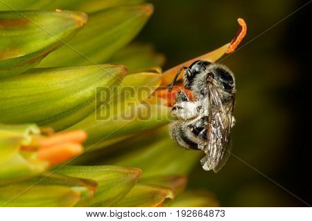 A bee collecting pollen from a flower, South Africa