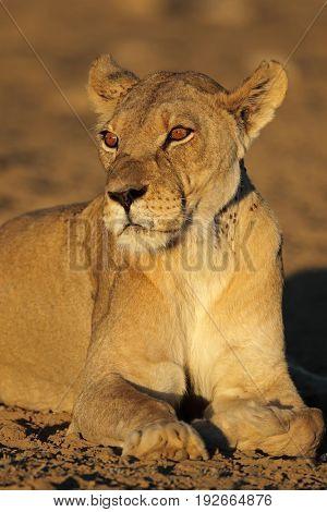 Portrait of an African lioness (Panthera leo), Kalahari desert, South Africa