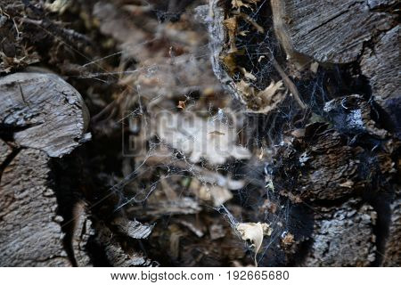 Close Up of Actinomycete Webbing On Tree Stump