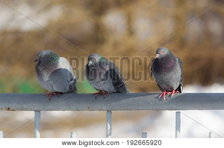 flock of pigeons on a fence on a sunny day