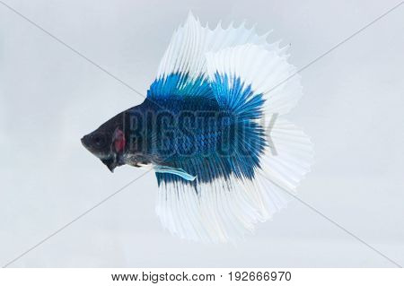 Betta Fish Or Fighting Fish (Half Moon Double Tail) On White Background